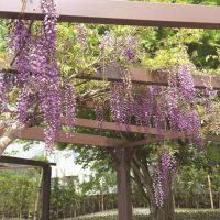 知覧の藤棚公園で藤の花に包まれる。武家屋敷に鬼はいない | 南九州市