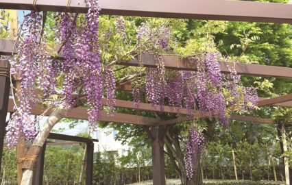 知覧武家屋敷庭園群の藤棚公園