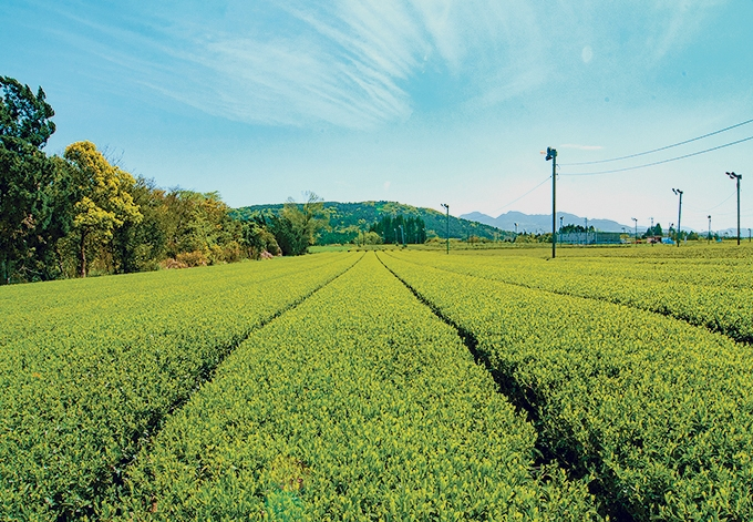 笹野製茶「茶畑」